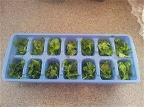 how to freeze cilantro how to freeze cilantro mom always finds out