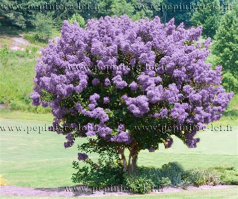 lilas des indes violet lagerstroemia ppinire lcf