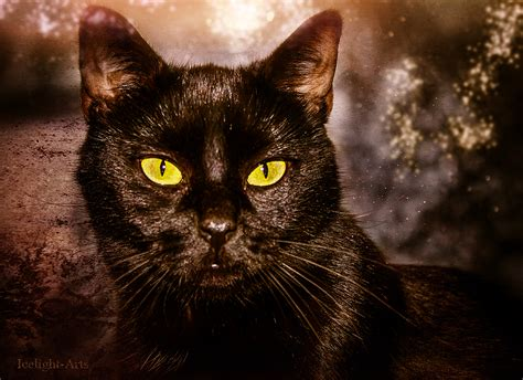 schwarze schoenheit foto bild tiere haustiere katzen
