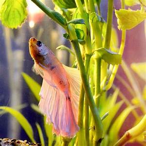 331 Best images about Fish - Bettas on Pinterest | Copper ...