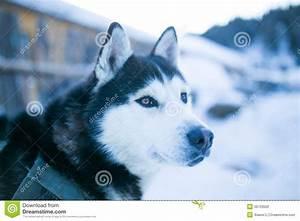 Husky dog stock photo. Image of cute, adopting, look ...