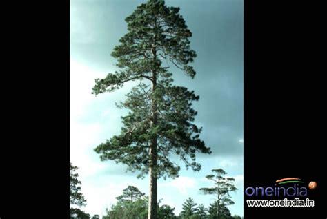 types of live christmas trees photos pics 229385
