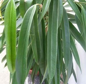 Ficus Benjamini Verliert Alle Blätter : heute ist ficus binnendijkii alii bei mir eingezogen ~ Lizthompson.info Haus und Dekorationen
