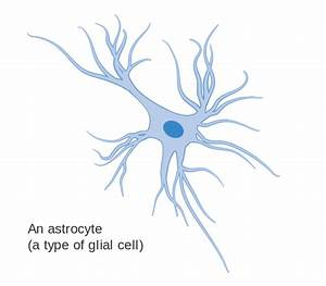 File Diagram Of An Astrocyte - A Type Of Glial Cell Cruk 029 Svg