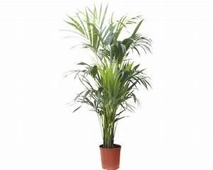 Palmen Kaufen Baumarkt : howeia palme floraself howeia forsteriana h 180 cm bei hornbach kaufen ~ Orissabook.com Haus und Dekorationen