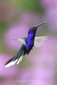 Beautiful Blue Hummingbird