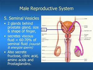 General Anatomy Of The Male Reproductive System