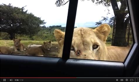 Safari Guides Weigh In On The Viral Video Of Lion Opening