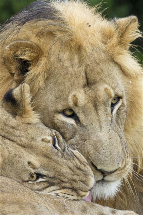 Lion Cub Tattoo Small