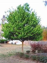 trident maple tree Trident Maple Tree, Acer buergerianum
