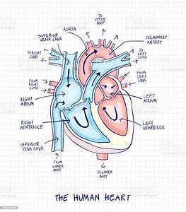 32 Label The Anatomy Of The Heart