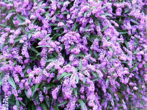 plant spotlight lilac vinehardenbergia violacea san