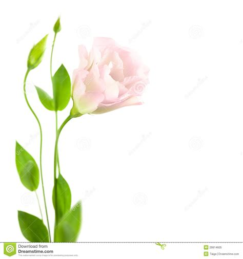beautiful flower with buds isolated on white eustoma lisia royalty free stock