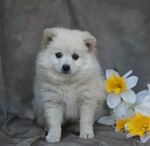 Cute Little American Eskimo/Pomeranian mix Puppies ...