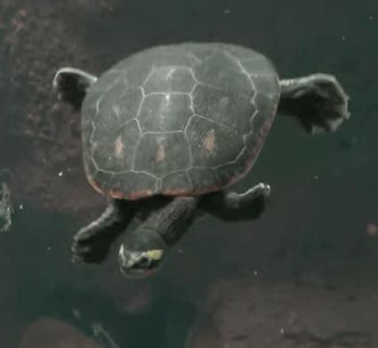 sideneck turtle pink belly sideneck turtle all turtles