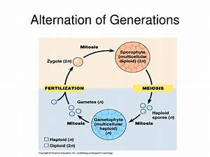 Explain Alternation Of Generations Pictures to Pin on ...