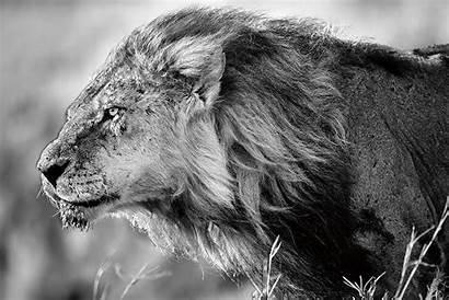 Lion Glass Poster Verre Lejon Vidrio Tableau