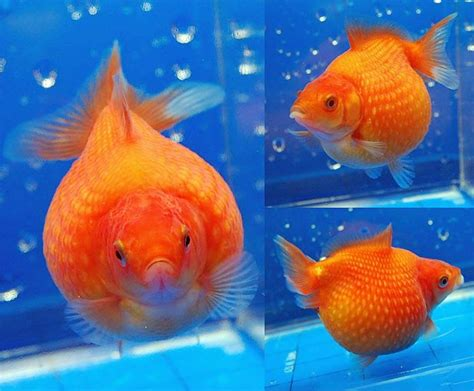 pin  hasitha eranda  fish keeping aquarium fish