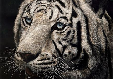 hyper realistic scratchboard illustrations  cathy