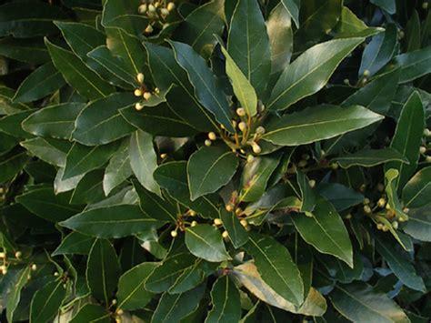 plantes aromatiques cuisine laurier sauce laurus nobilis plantation culture