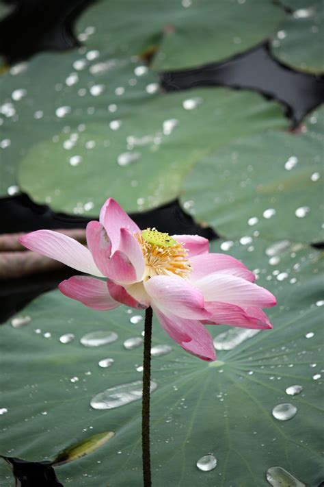 Faded Lotus Flower In Blossom Free Stock Photo - Public ...
