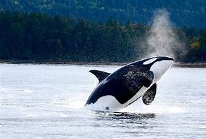 Tilikum The Orca Entertained Us  But He Was Born To Be Wild