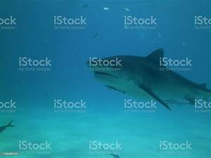 Tigershark Stock Photo - Download Image Now