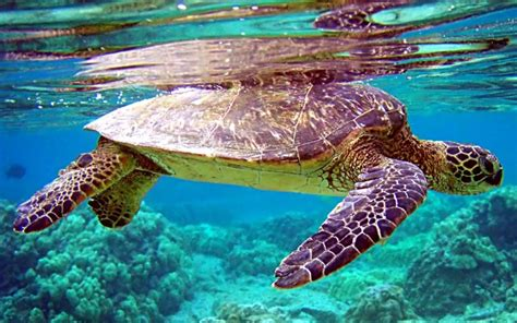 48 Free Sea Turtle Wallpaper Backgrounds On Wallpapersafari