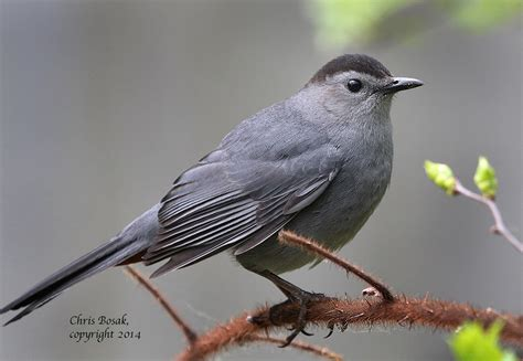 gray catbird birds of new england com