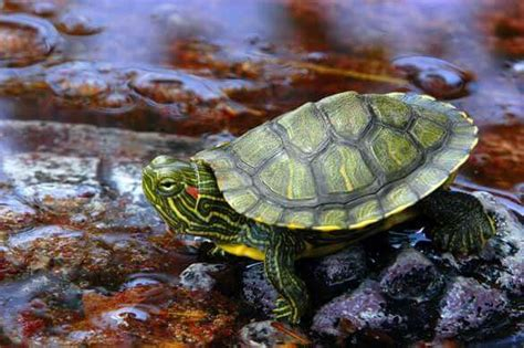heat ls for baby turtles how to care for a baby ear slider turtle