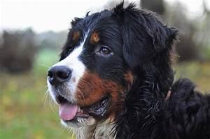 Berner Sennenhund Gewicht : berner sennenhund im rassenportrait edogs magazin ~ Markanthonyermac.com Haus und Dekorationen