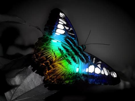 Colourful Animal Wallpaper - colorful butterfly wallpapers hd wallpapers id 4881