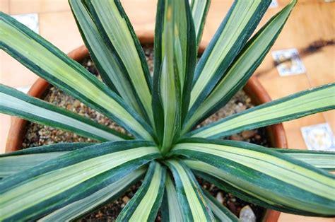 agave in vaso agave sisalana piante grasse da appartamento