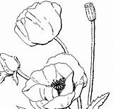 Poppy Coloring Adults Flower Poppies Colour Printables Printable Drawing Remembrance Wreath Flowers Template Clipart Fairy Sketch Crafts Nature Getdrawings Troll sketch template