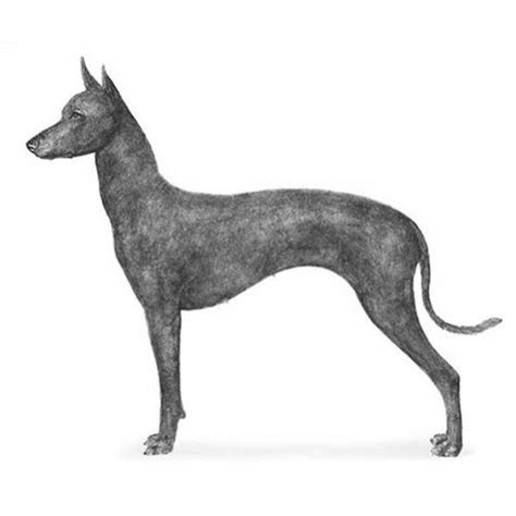 xoloitzcuintli dog breed information