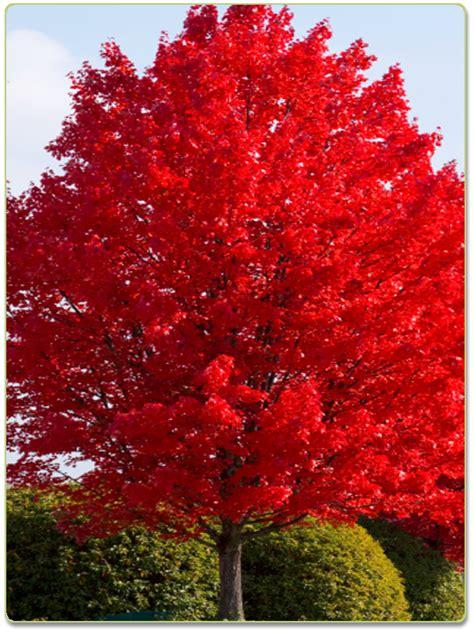 home design catalog autumn blaze maple