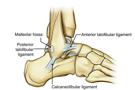 Easy Notes On 【Ankle Joint (Talocrural Joint)】Learn in ...