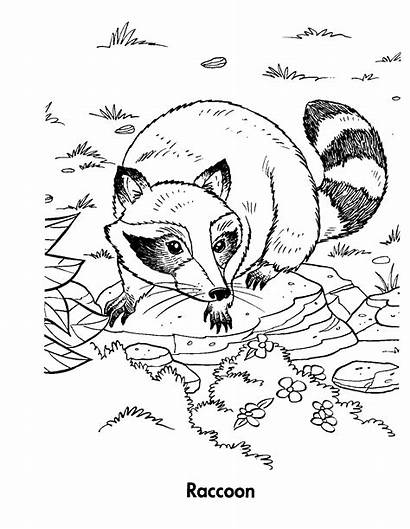 Raccoon Coloring Pages Racoon Sheet Chester Sheets