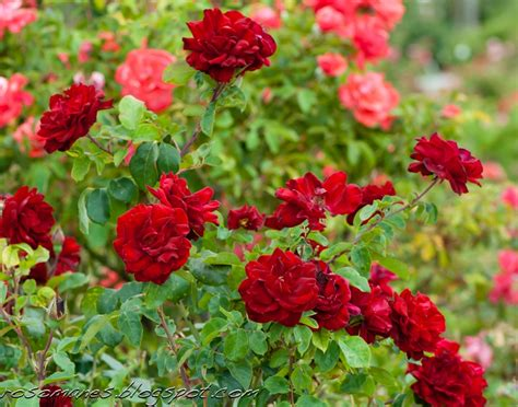 feeding roses a rose is a rose feeding potted roses and sunday portraits