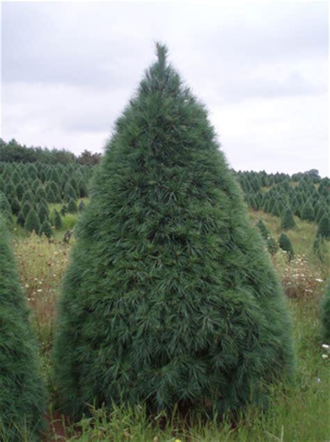 white pine christmas trees christmas tree farms in nc