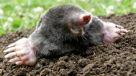 Telltale Signs You Have Moles In The Garden  And How To Get Rid Of Them Bt