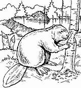 Beaver Coloring Pages Wood Animals Printable Drawing Dam Drawings Beavers Print Animal Sheets Exotic Carving Bever Colouring Books Line Scouts sketch template