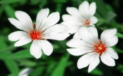 immagini di fiori bianchi foto fiori bianchi wallpaperart