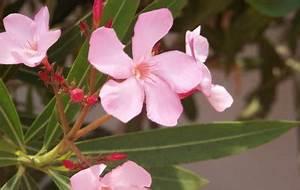 Oleander Stecklinge Wurzeln Nicht : giftige zimmerpflanzen oleander ~ Lizthompson.info Haus und Dekorationen