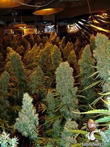 high cbd marijuana seeds canada