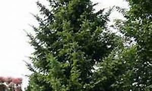 Immergrüne Hecke Ungiftig : ungiftig fragen bilder pflanz und pflegeanleitungen rund um das thema gartenpflanzen ~ Eleganceandgraceweddings.com Haus und Dekorationen