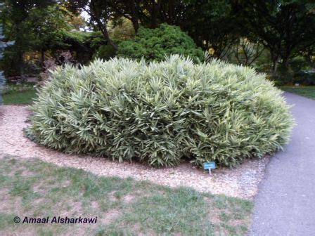 herbaceous plants pleioblastus viridistriatus dwarf