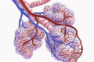 Alveoli  Structure  Function  And Disorders Of The Lungs