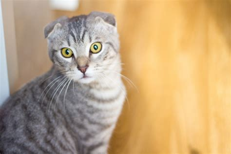 Scottish Fold Cat Price How Much Are Scottish Fold