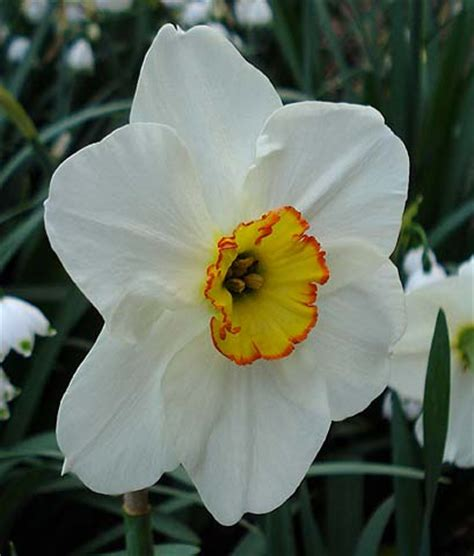 pacific bulb society narcissus division